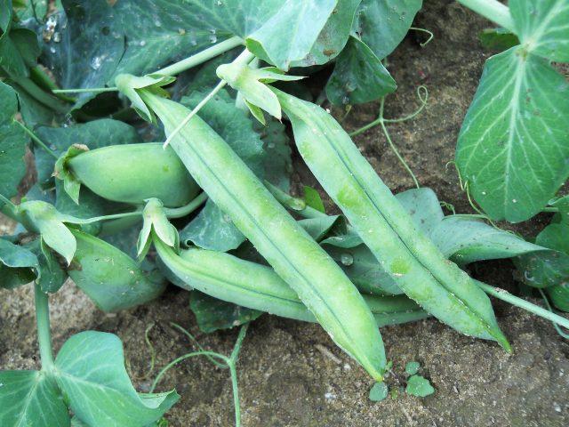 california cover crops